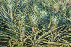 Usine d'ananas, élevage de fruit tropical dans une ferme Photos stock