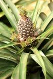 Usine d'ananas Images libres de droits