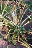Usine d'ananas avec le fruit Images libres de droits
