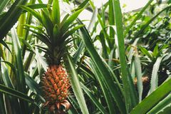 Usine d'ananas savoureuse photo libre de droits