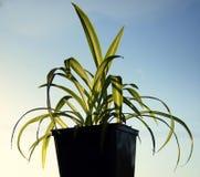Usine d'araignée (comosum de Chlorophytum) Photo stock