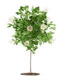 Usine d'arbre de rose de blanc d'isolement sur le blanc Photographie stock