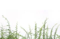 Usine d'arbuste sur le fond blanc Photos libres de droits