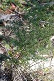 Usine d'asperge en détail d'une forêt Photo stock