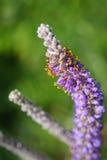 Usine d'avance et x28 ; Canescens Pursh& x29 d'Amorpha ; Photos libres de droits