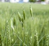 Usine d'avoine, avoine verte, photos non mûres d'avoine, usine d'avoine de vert d'avoine d'usine de céréale sur le champ, usine d Images libres de droits