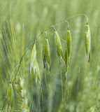 Usine d'avoine, avoine verte, photos non mûres d'avoine, usine d'avoine de vert d'avoine d'usine de céréale sur le champ, usine d Images stock