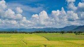 Usine d'or de ferme de riz de la Thaïlande (laps de temps) banque de vidéos