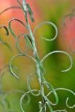 Usine d'herbe de cari Images libres de droits