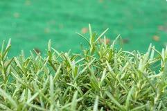 Usine d'herbe de Rosemary à la hauteur d'oeil Photographie stock libre de droits