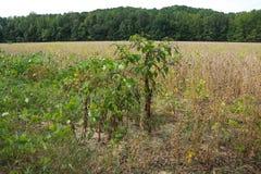 Usine d'isolement de Sallet de poussée au Mississippi du nord Photos stock