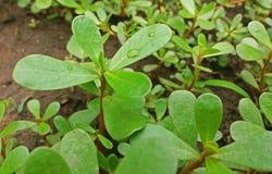 Usine d'oleracea de Portulaca avec beaucoup d'avantages étroitement  photos stock