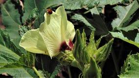 Usine d'Ora avec un insecte de dame photographie stock