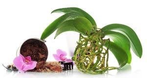 Usine d'orchidée sans pot image stock