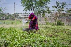 Usine de arrosage de légumes de femme bangladaise supérieure avec dans des mains chez Dhaka, Bangladesh Photo stock
