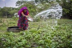 Usine de arrosage de légumes de femme bangladaise supérieure avec dans des mains chez Dhaka, Bangladesh Photographie stock libre de droits