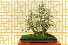 Usine de bonsaïs de Machilus Photographie stock libre de droits