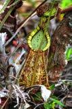 Usine de broc dans la forêt tropicale Image libre de droits