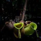 Usine de broc tropical sauvage Images libres de droits
