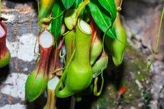 Usine de broc tropicale d'attrape-mouche, espèces de nepenthes Photo stock
