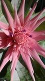 Usine de Bromieiad en plan rapproché de pleine floraison Images stock