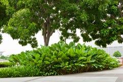 Usine de buisson de lutea de Calathea image stock