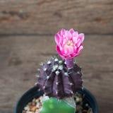 Usine de cactus avec la fleur de floraison rose sur la table en bois Image stock