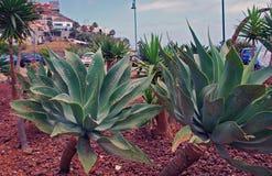 Usine de cactus sur l'île de la Madère Photo libre de droits