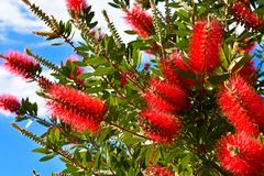 Usine de Callistemon avec les fleurs de bottlebrush et les bourgeon floraux rouges contre le ciel bleu intense une journée de pri Image stock