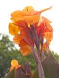 Usine de Canna dans l'orange chaude Photos stock