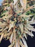 Usine de cannabis Photos libres de droits