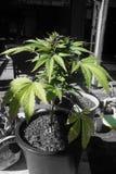 Usine de cannabis Photographie stock