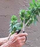 Usine de cannabis de marijuana moissonnée par le vieillard Images stock