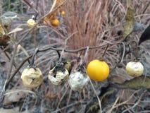 Usine de Carolinense de solanum avec le fruit en automne Photo stock