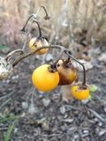 Usine de Carolinense de solanum avec le fruit en automne Images stock