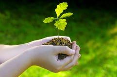 Usine de chêne de germination, petit arbre dans des mains photo stock