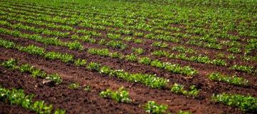 Usine de champ de plantation d'arachide Images libres de droits