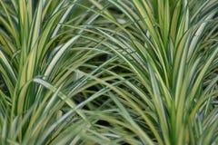Usine de Chlorophitum Photo stock