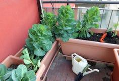Usine de chou et de feuilles dans des vases d'un jardin urbain sur le t photo stock