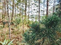 Usine de conifère dans le premier plan Forêt images stock