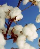 Usine de coton photos libres de droits