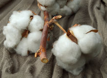 Usine de coton Photo stock