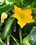 Usine de courgette Fleur de courgette Élevage vert de courge à la moelle Photographie stock