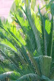 Usine de Cycad Photos libres de droits
