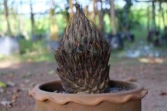Usine de Cycas image stock