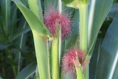Usine de feuille de fleur de maïs naturelle photographie stock