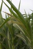 Usine de feuille de fleur de maïs naturelle Photo stock