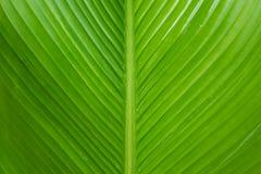 Usine de fleur de cigare ou feuille de Calathea Lutea photos stock
