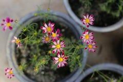 Usine de fleur de papillon dans le jardin Photos stock