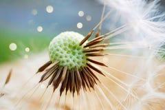Usine de fleur de pissenlit photo libre de droits